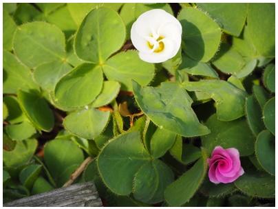 オキザリスの花白1とピンク