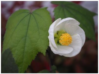 芙蓉の白花1