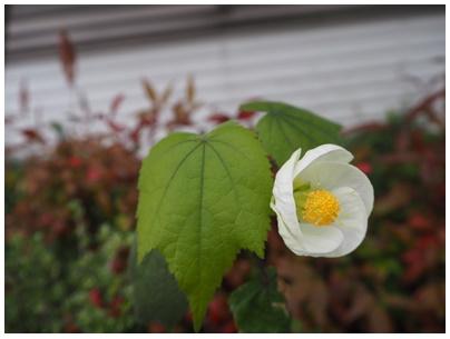 芙蓉の白花2
