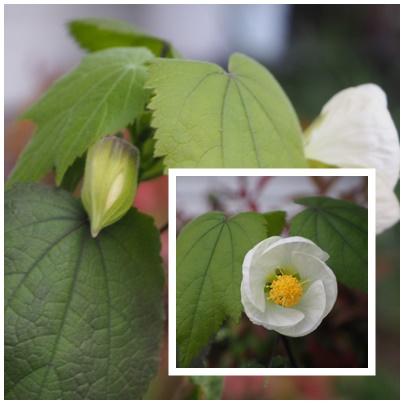 芙蓉の白花3