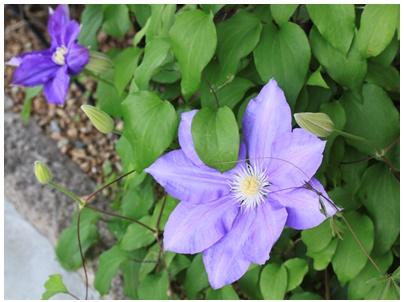 クレマチスの花1