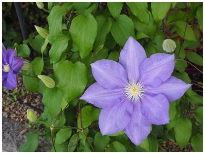 クレマチスの花2