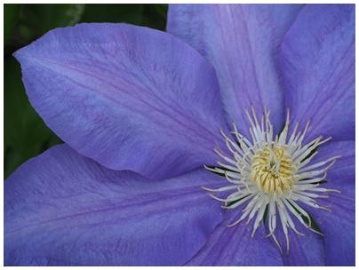 クレマチスの花6