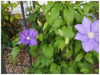 クレマチスの花7