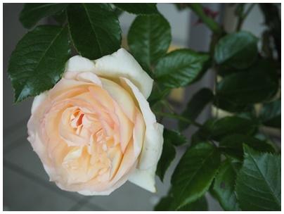 バラの花3