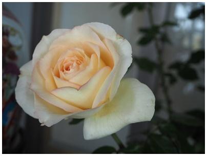 バラの花4