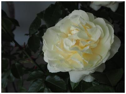 バラの花6(5月8日)