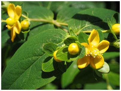ヒペリカムの花1
