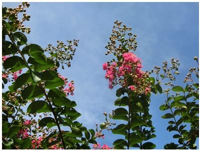 百日紅の花1