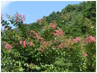 百日紅の花3