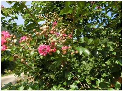 百日紅の花4