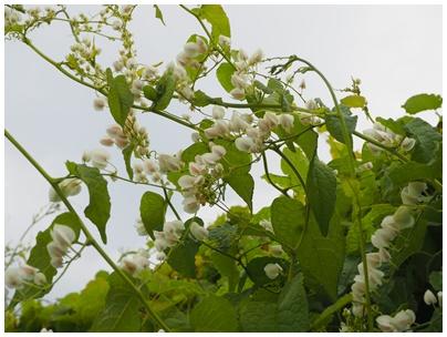 マメ科の花2(白)