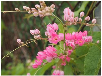 マメ科の花3(ピンク)
