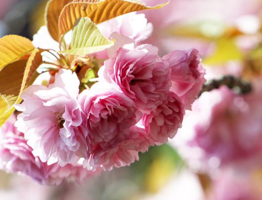 2016神社の桜