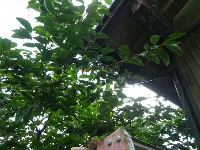 軒に隣接する柿の木