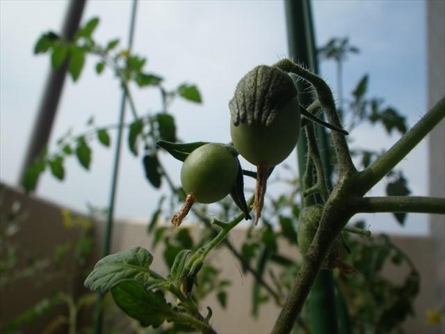 人工授粉で実ったトマト