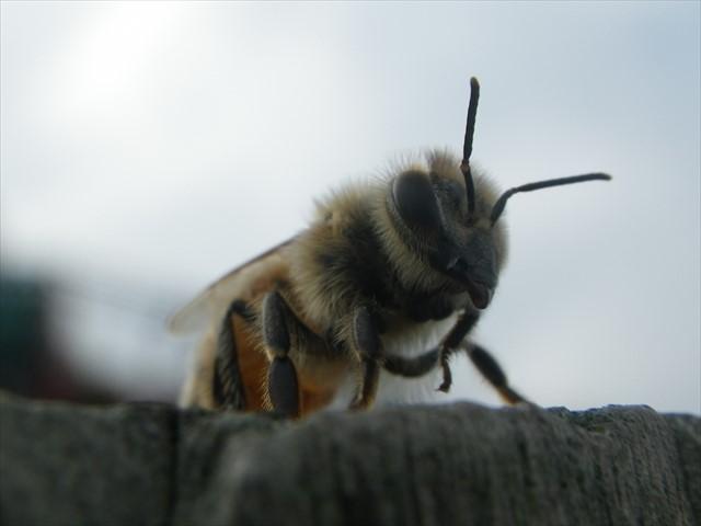 ミツバチ-4