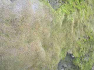 毛皮のような苔