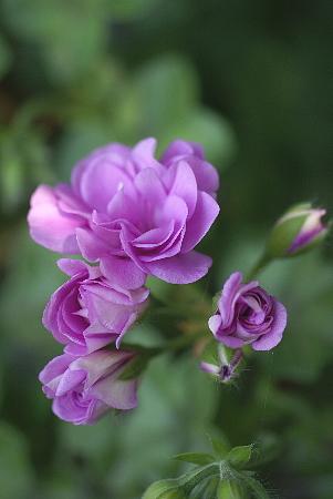 0511-2バラ咲きゼラニュウム