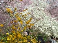 201604 桜の山