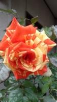 201605 薔薇 2