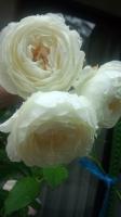 160517 雨の日の薔薇