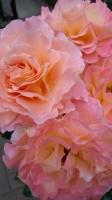16 薔薇花束