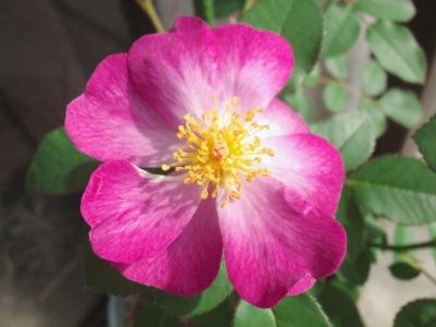 2016 秋のバラ