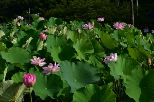 臼杵ハスの花 (1)