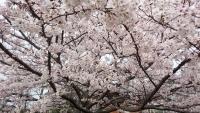 2016.4.6桜サイズ変更