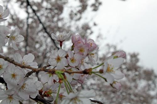 2016桜1