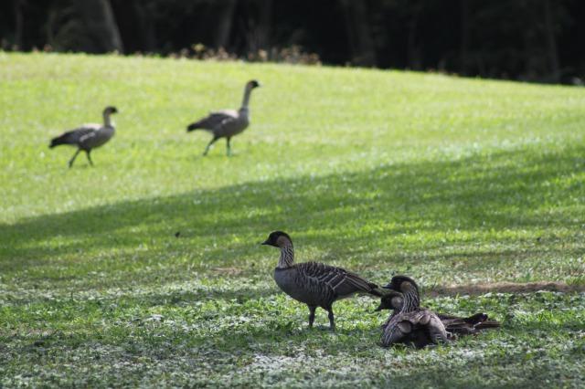 なんか周りがキレイな芝生っぽくてなんとなく野生感は感じませんがしっかり野生のネネですからね!(笑)