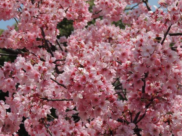 N7574上野の桜「陽光」
