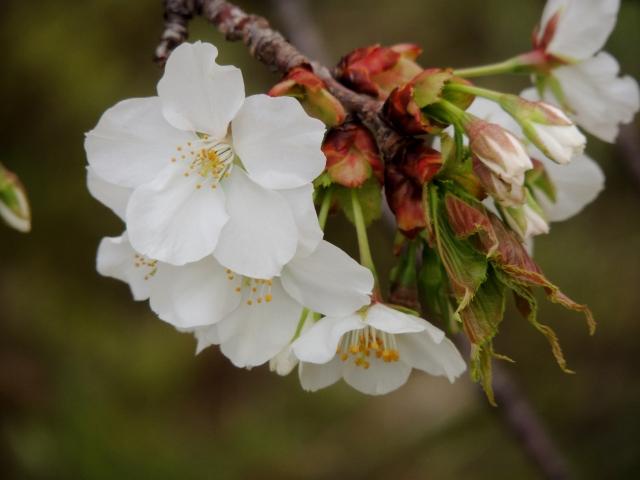 N7612大島桜