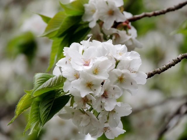N7615皇居の桜