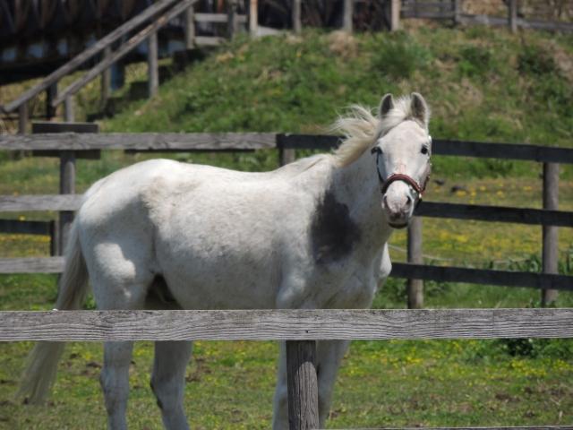 N7734白い馬