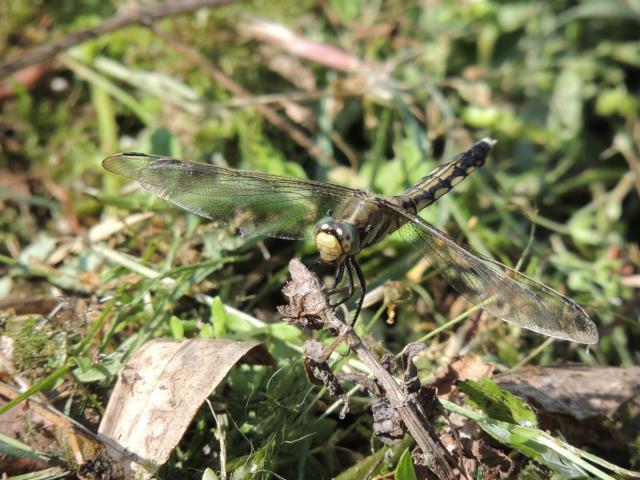 N7824蜻蛉