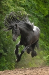 beautiful-black-horse-animals-33355403-330-500.jpg