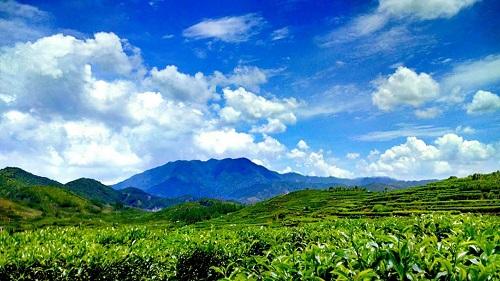鳳凰単欉茶園