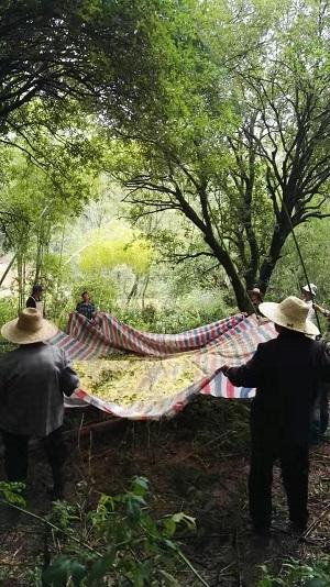2016年桂花茶―2