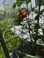 ベランダ菜園・ミニトマト