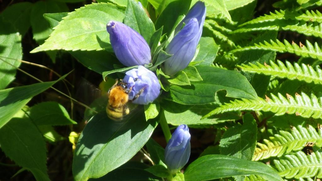 1151蜂とリンドウ