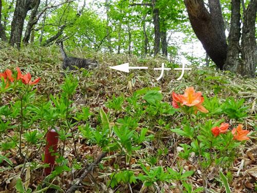 レンゲツツジが咲いて1