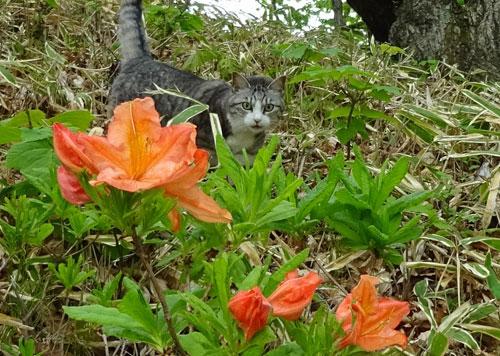 レンゲツツジが咲いて2
