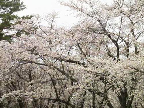 桜も咲いて2