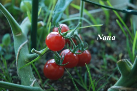 tomato1-3.jpg