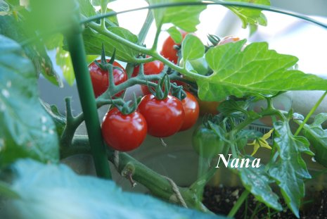 tomato1-4.jpg