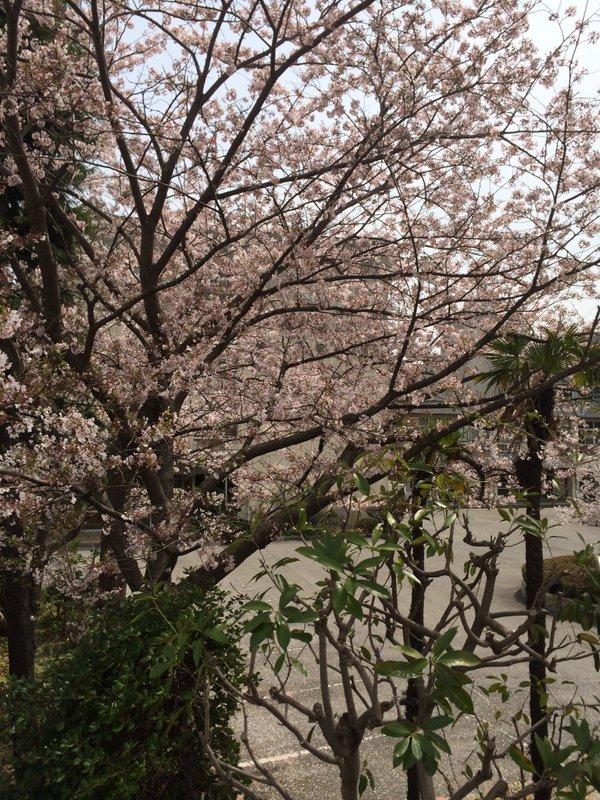 2016年版桜1
