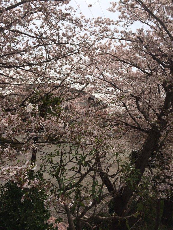 2016年版桜2