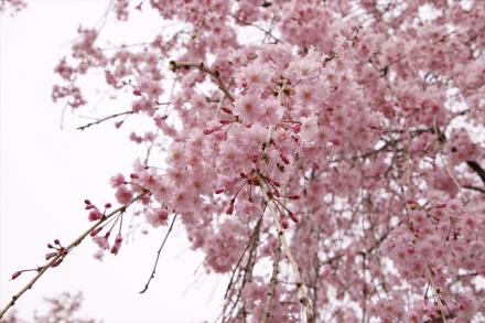 枝垂桜入り口でお迎え